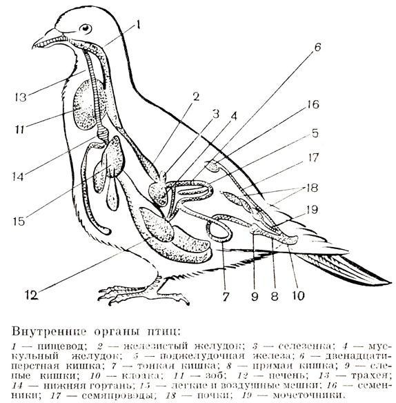 Анатомические схемы — ЭИЭ