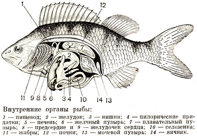 А вот о нервной системе и органах чувств рыбы знает далеко не каждый.  Строение скелета, кровеносная и...