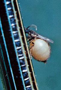 Phasmidohelea wagneri