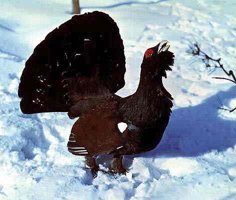 Птицы.  Разнообразен и мир пернатых: глухари (Tetrao urogallus, T.
