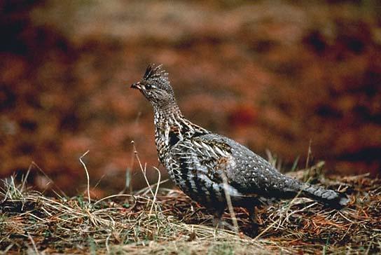 ...или осиновые) - птица любит захламленность, овраги и ручейки.