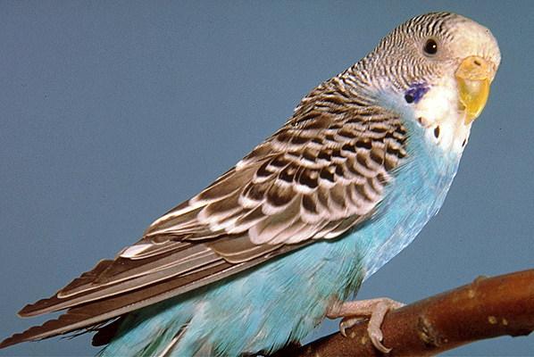 ПОПУГАИ - Волнистый попугай фото, Волнистые, неразлучники, кореллы и.