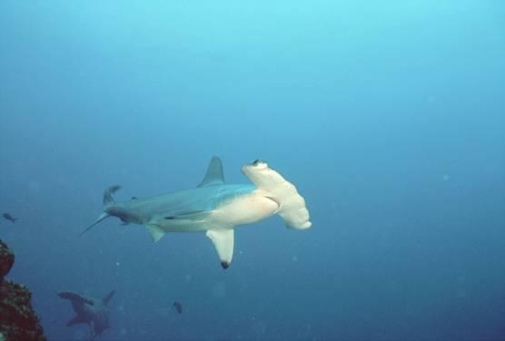 Самой опасной считается белая акула.