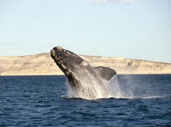 Фото 7. Южный австралийский кит.