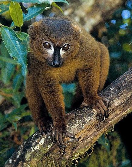 Lemur eulemur rubriventer лемур краснобрюхий 436 x