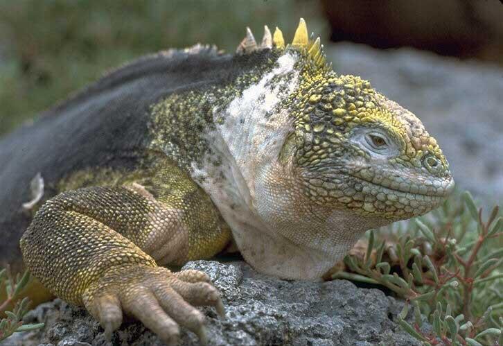Ящерицы_Lizards_Картинки_Фото_Качественные картинки с животными_Качественны
